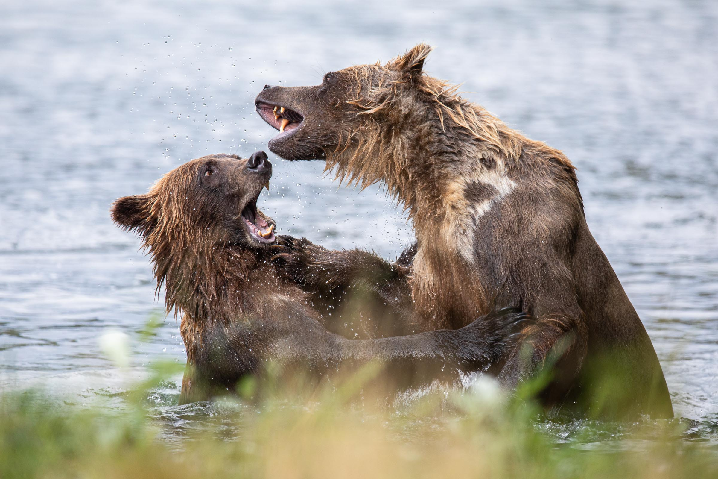 Grizzly Bear sparring