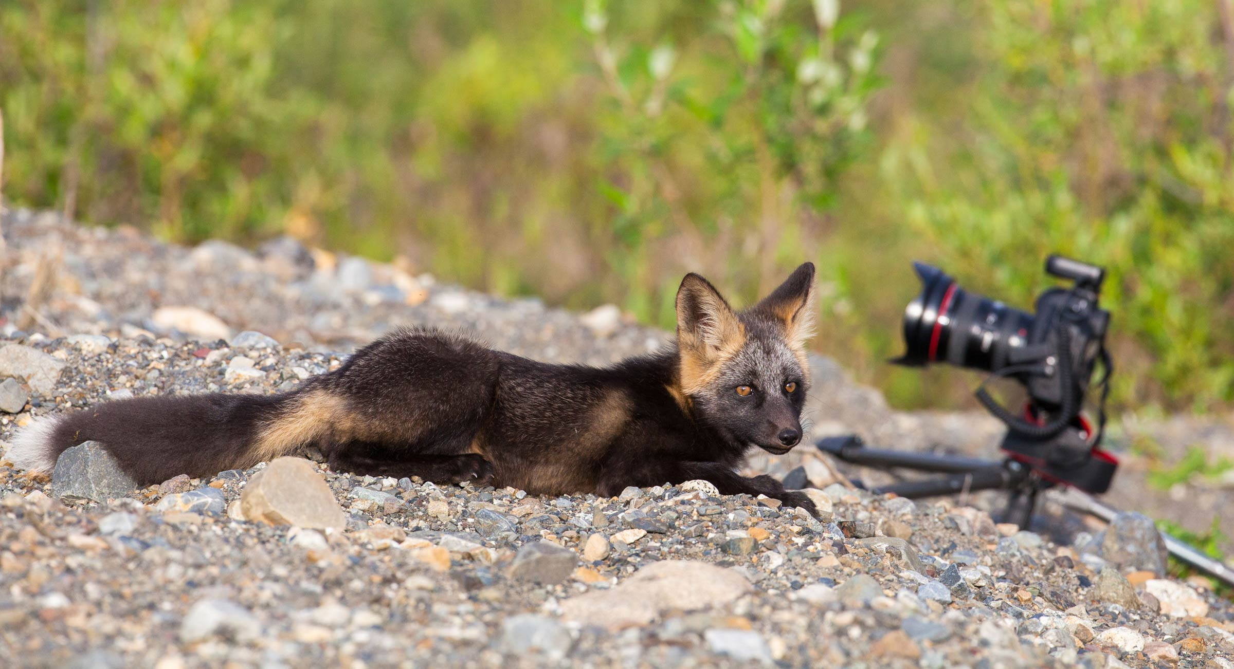 Red fox kit with camera