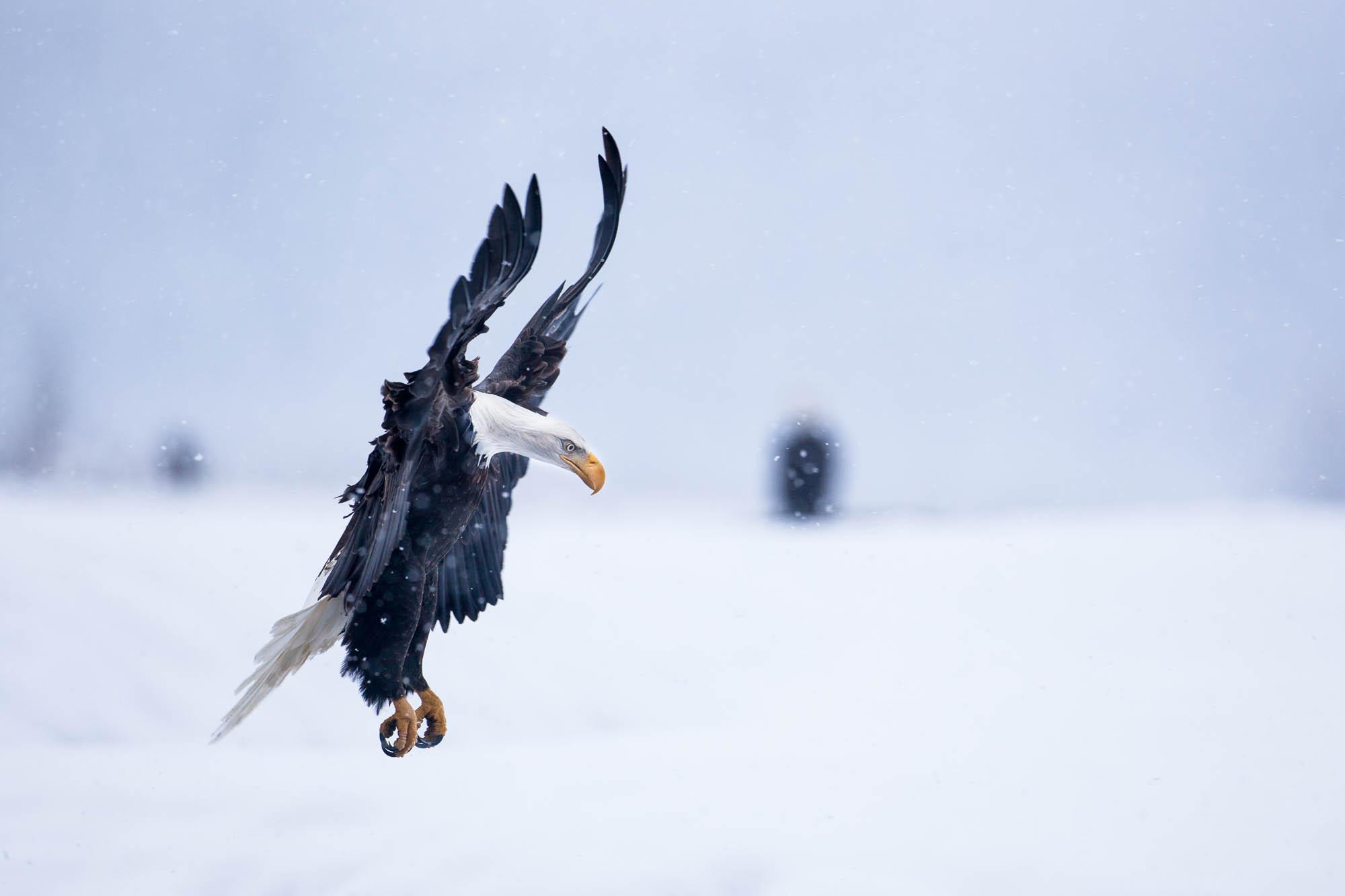 Bald Eagle landing in snowstorm